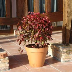 Nandina enano 'Fire Power'